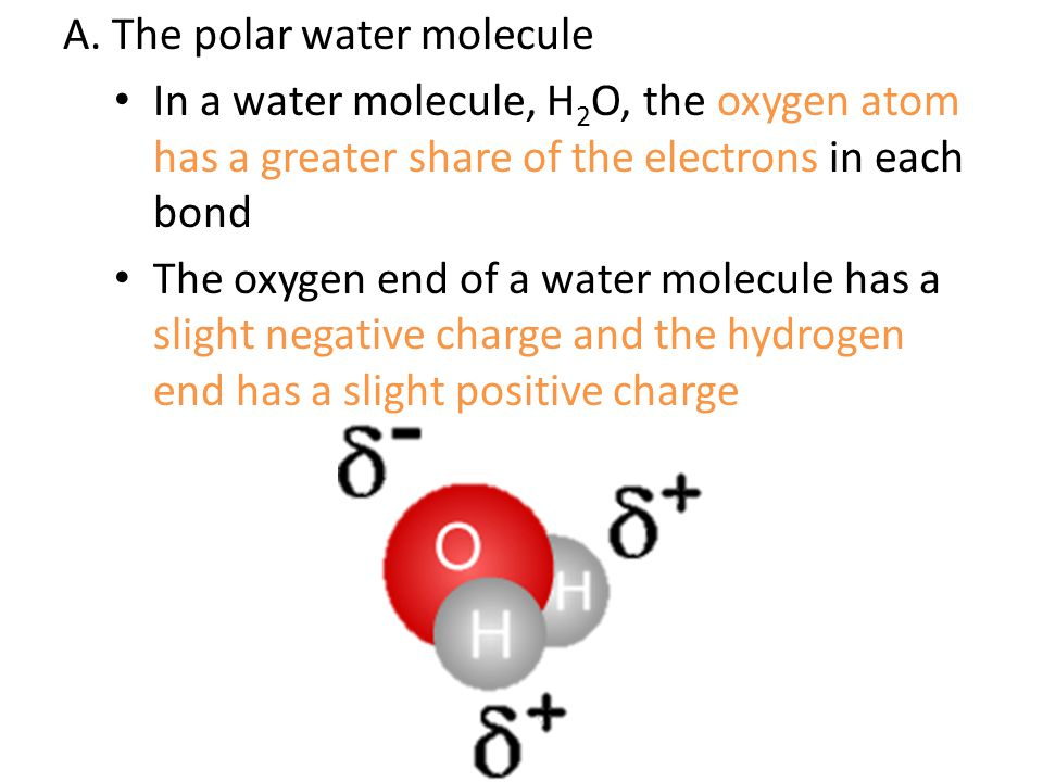 A. The polar water molecule
