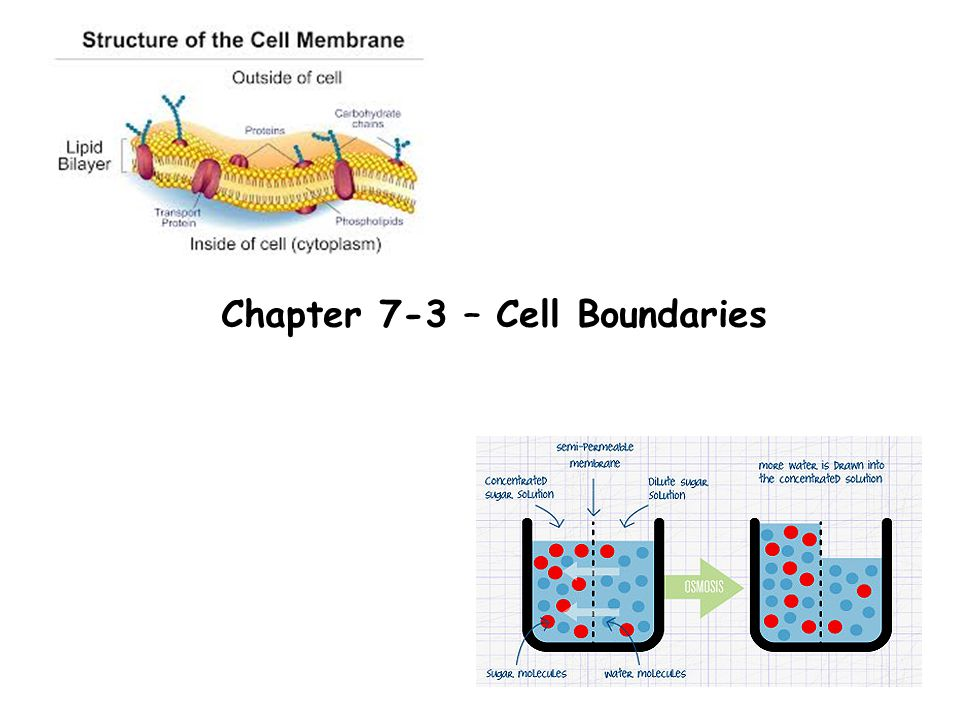 Chapter 7-3 – Cell Boundaries