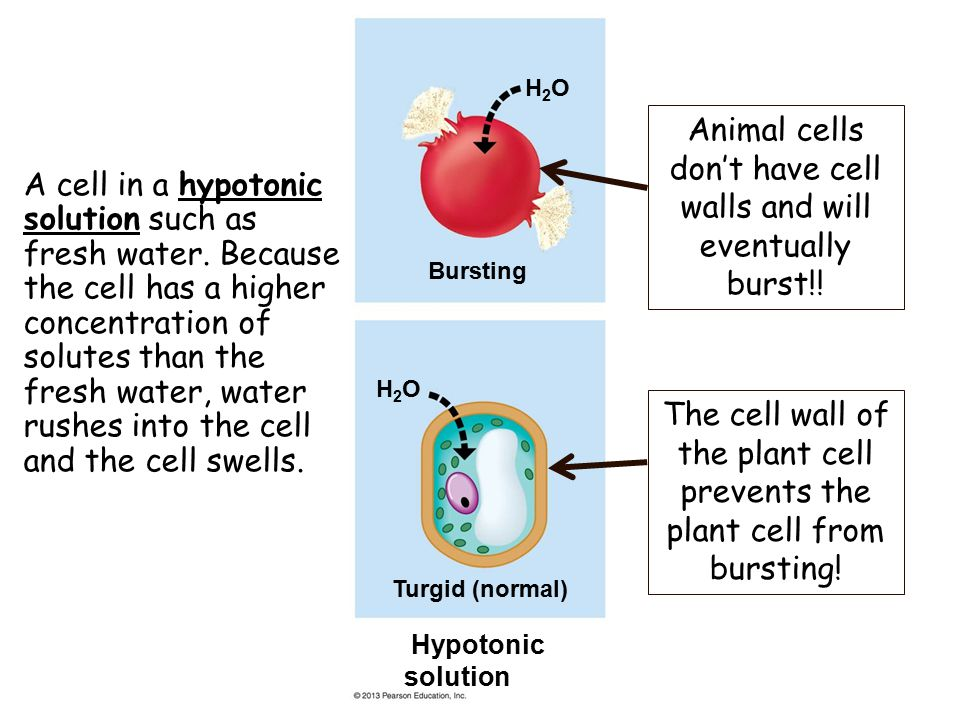 Animal cells don't have cell walls and will eventually burst!!