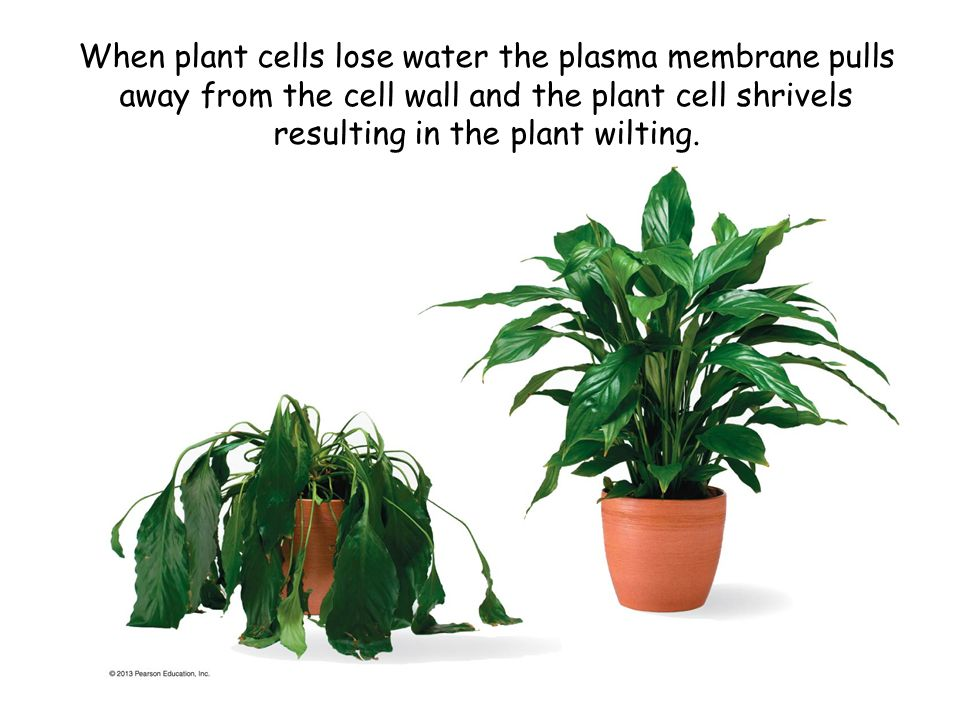 When plant cells lose water the plasma membrane pulls away from the cell wall and the plant cell shrivels resulting in the plant wilting.