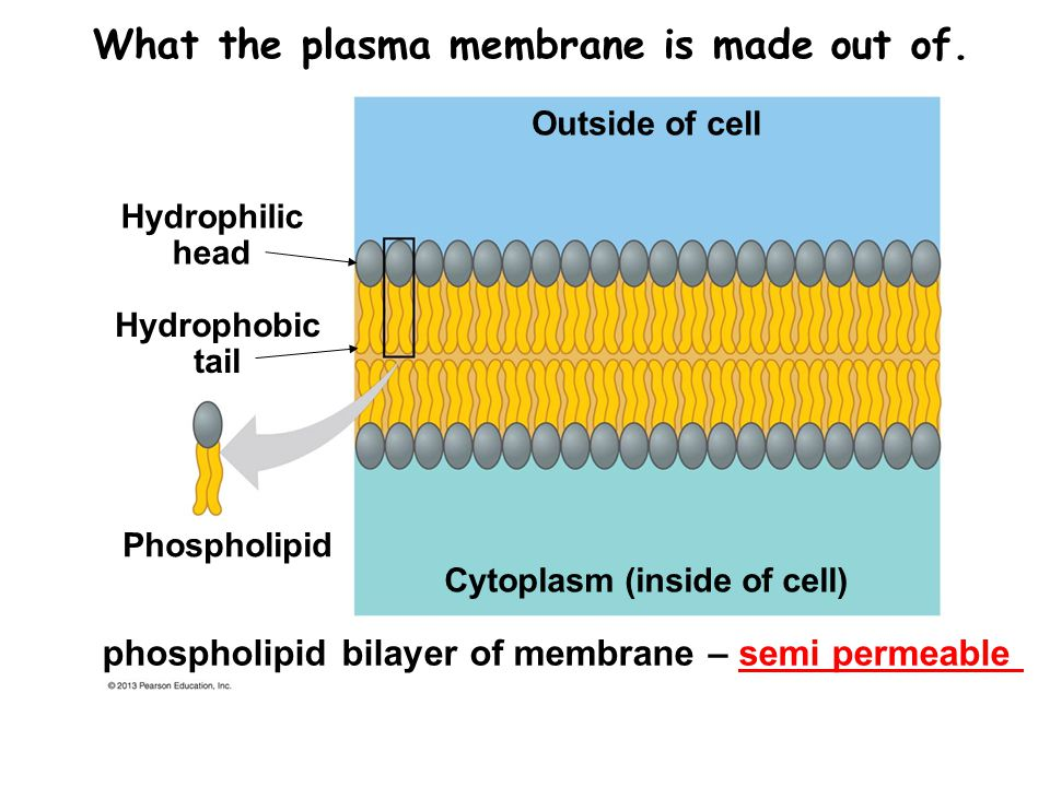 What the plasma membrane is made out of.