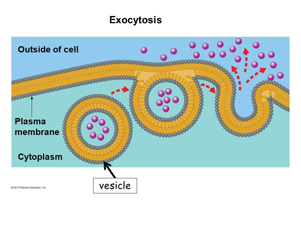 Exocytosis vesicle Outside of cell Plasma membrane Cytoplasm