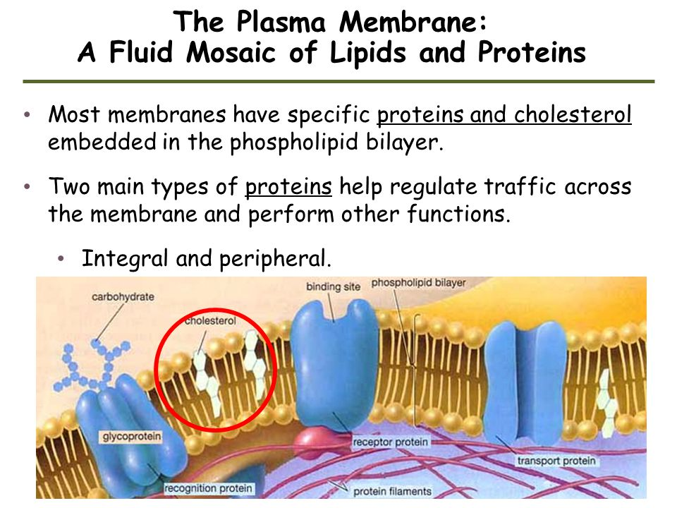 The Plasma Membrane: A Fluid Mosaic of Lipids and Proteins