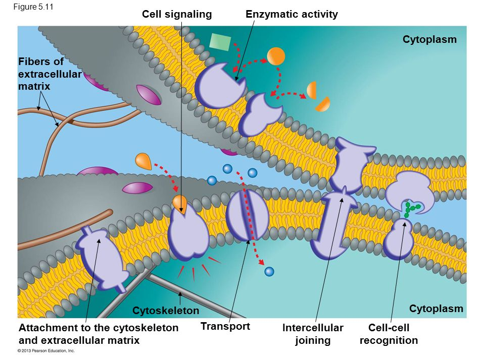 Intercellular joining Cell-cell recognition