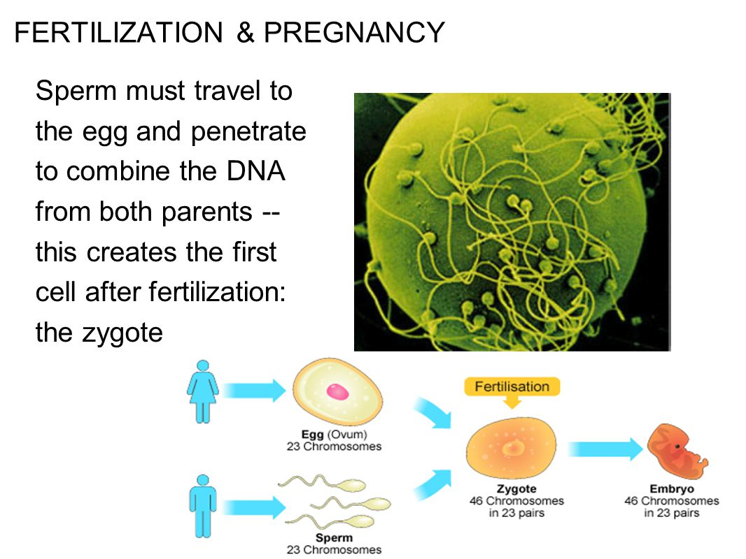 Fertilization Takes place in the fallopian tube. - ppt ...