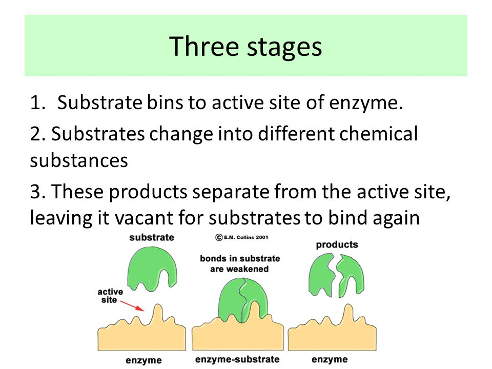 Three stages Substrate bins to active site of enzyme.