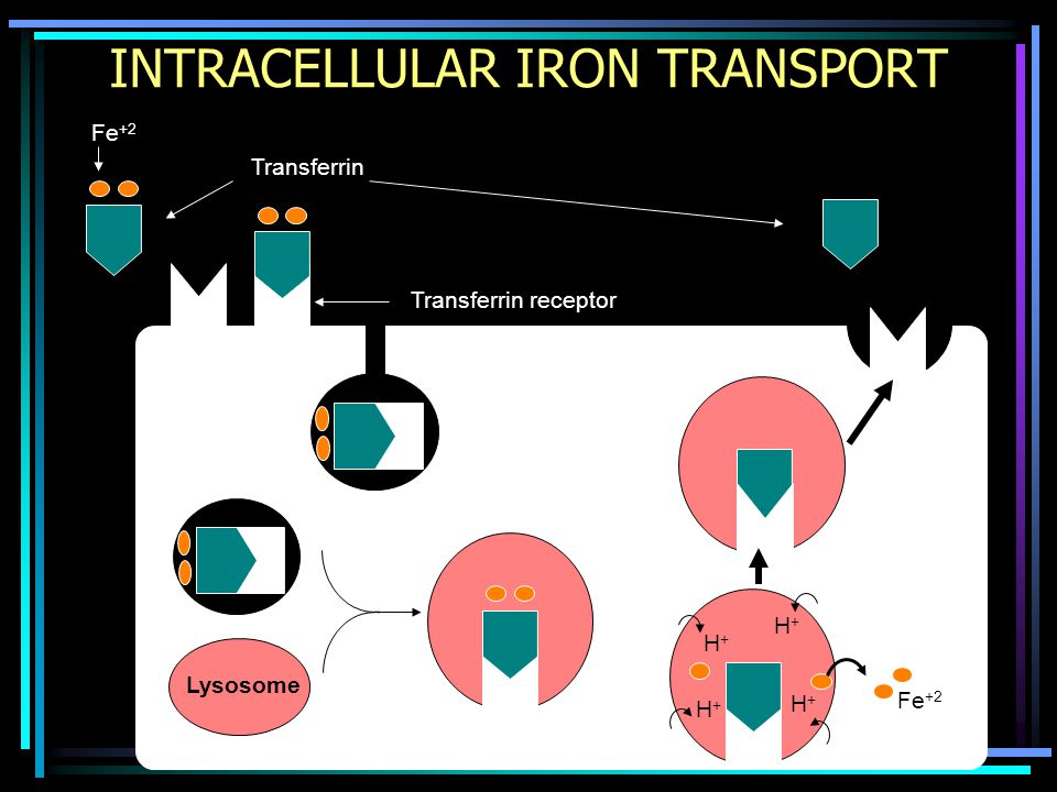 INTRACELLULAR IRON TRANSPORT