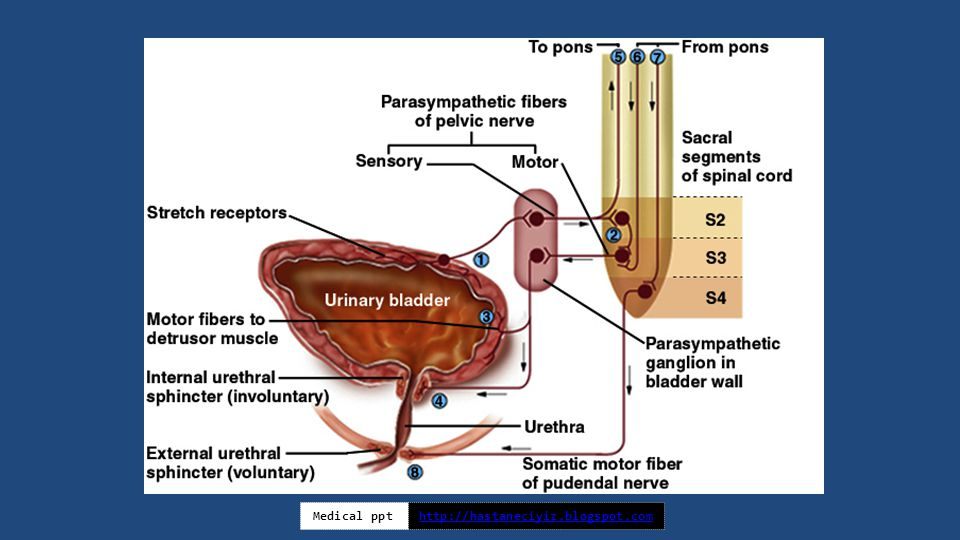 Gross Anatomy of Urinary system - ppt video online download