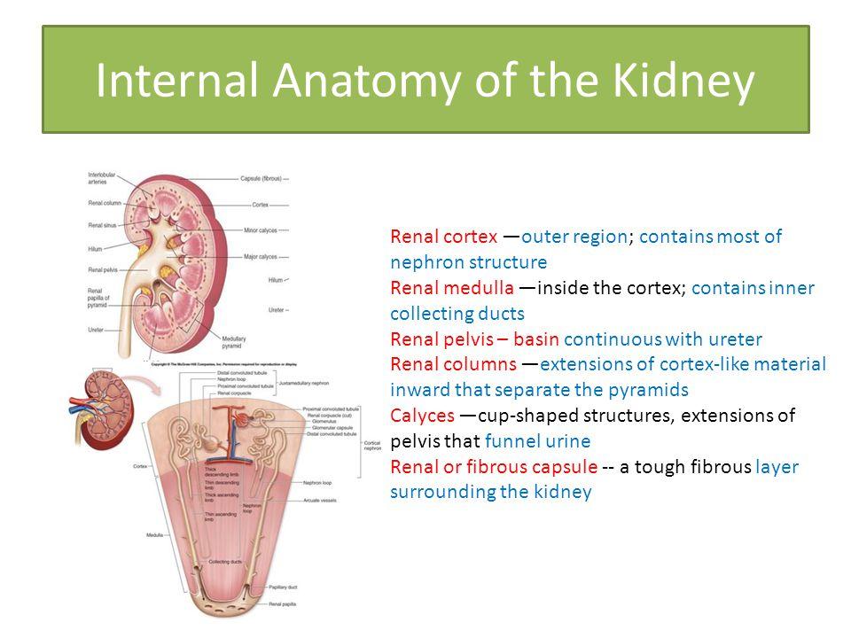 Internal anatomy of a kidney