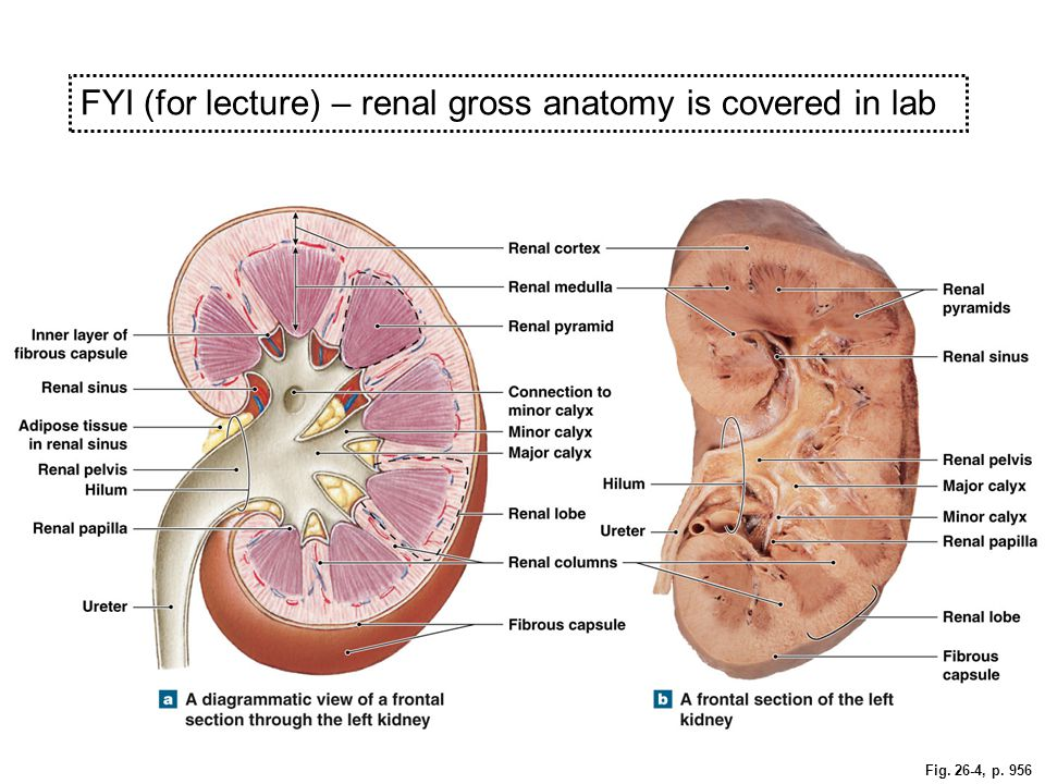 Ch. 26 – The Urinary System The general functions of the major ...