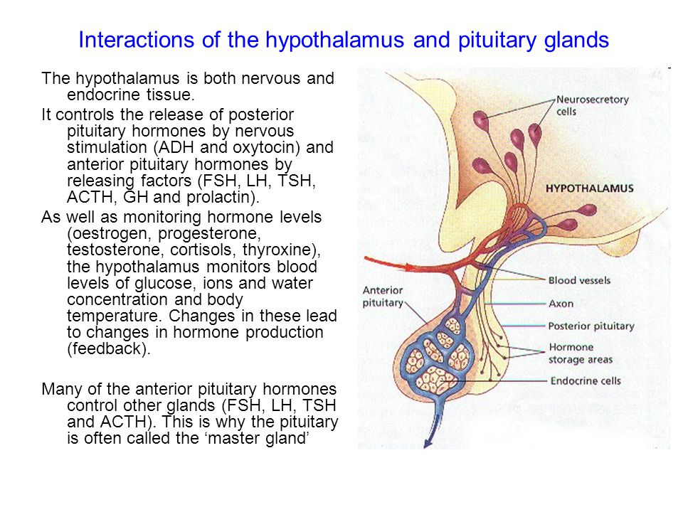 Interactions of the hypothalamus and pituitary glands