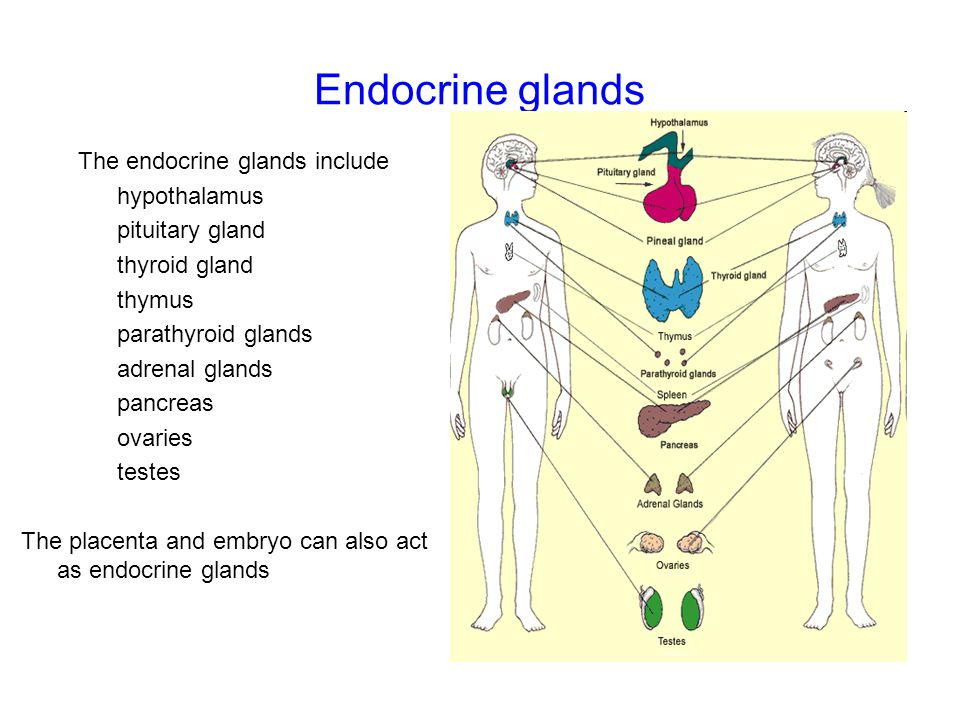 Endocrine glands The endocrine glands include hypothalamus