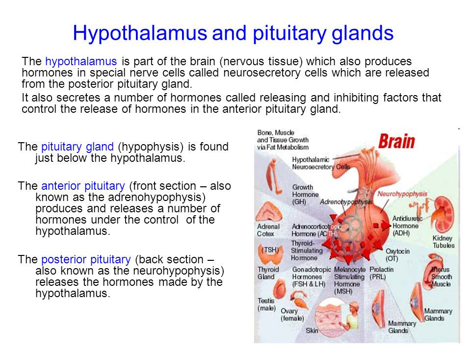Hypothalamus and pituitary glands