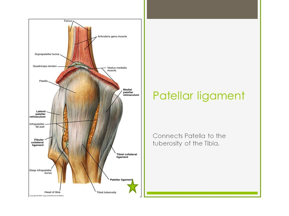 The Knee Tibiofemoral Joint Ppt Video Online Download