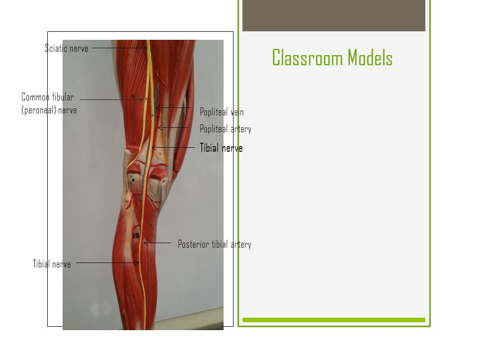 The Knee (Tibiofemoral Joint) - ppt video online download