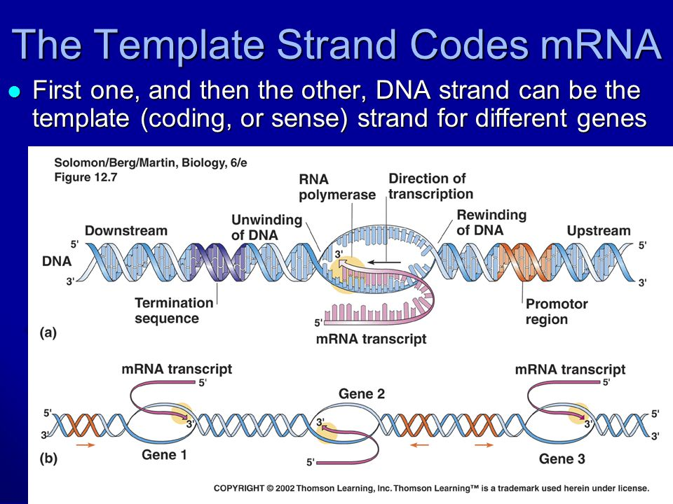 Chapter 17 genes and how they work ppt download for Difference between template and coding strand