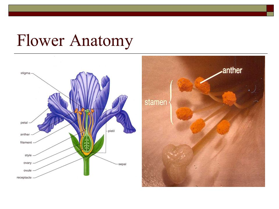 Plant flower anatomy