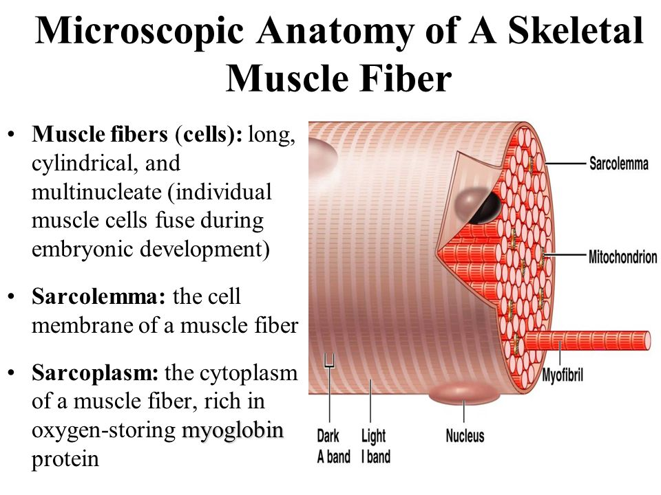 an analysis of the anatomy of a muscle cell by john centore Movement, the intricate cooperation of muscle and nerve fibres, is the means by which an organism interacts with its environmentthe innervation of muscle cells, or fibres, permits an animal to carry out the normal activities of life.