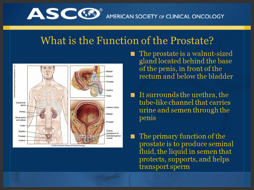 What is the Function of the Prostate