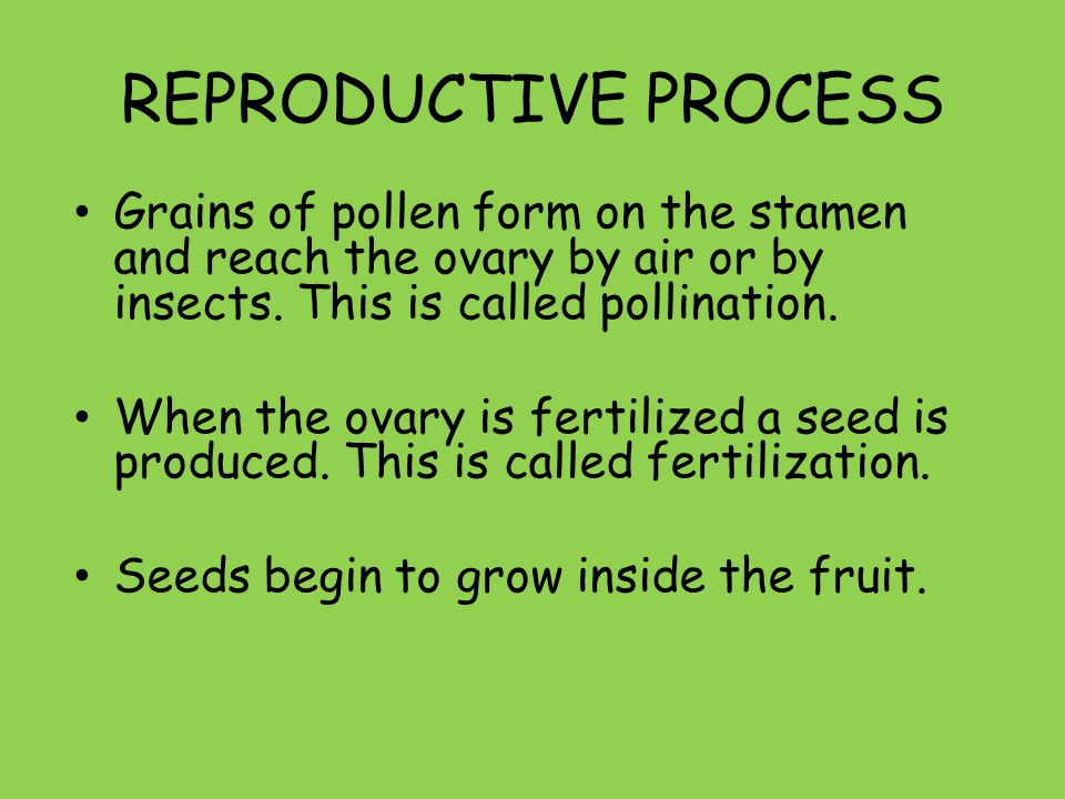 REPRODUCTIVE PROCESS Grains of pollen form on the stamen and reach the ovary by air or by insects. This is called pollination.