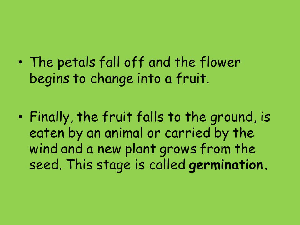 The petals fall off and the flower begins to change into a fruit.