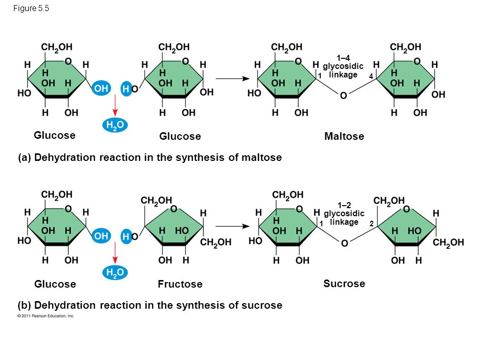 (a) Dehydration reaction in the synthesis of maltose