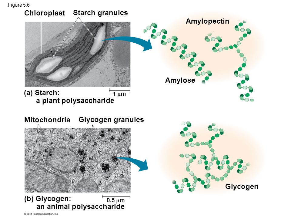 (a) Starch: a plant polysaccharide