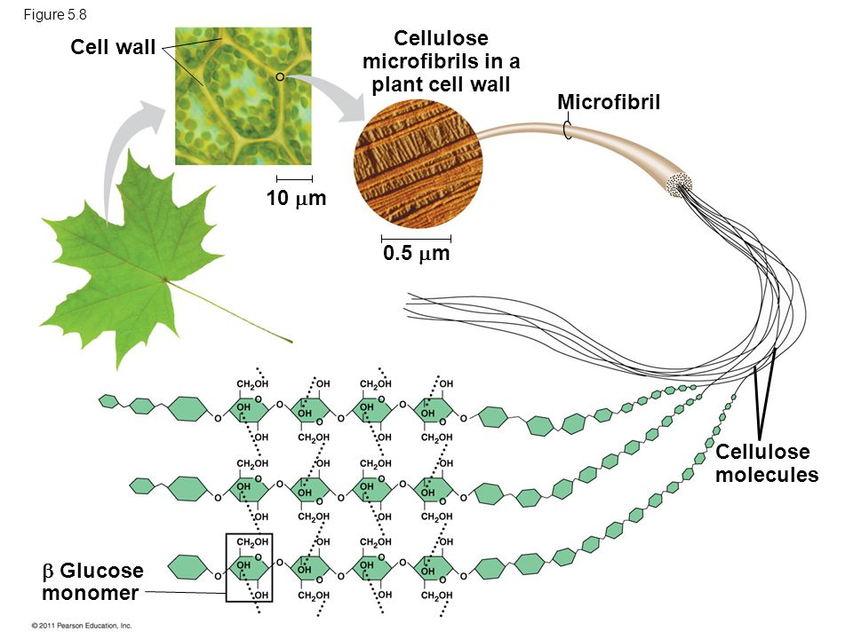 Cellulose microfibrils in a plant cell wall