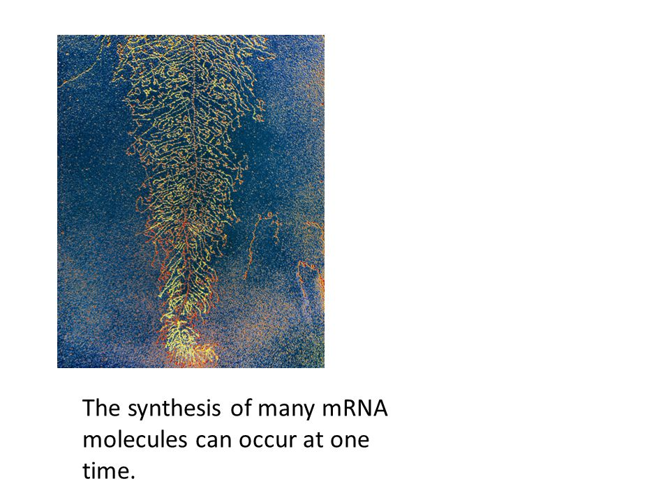 The synthesis of many mRNA molecules can occur at one time.