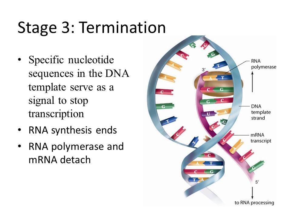 Stage 3: Termination Specific nucleotide sequences in the DNA template serve as a signal to stop transcription.