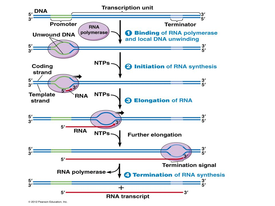 NTP is a nucleoside triphosphate, which is required for initiating transcription.