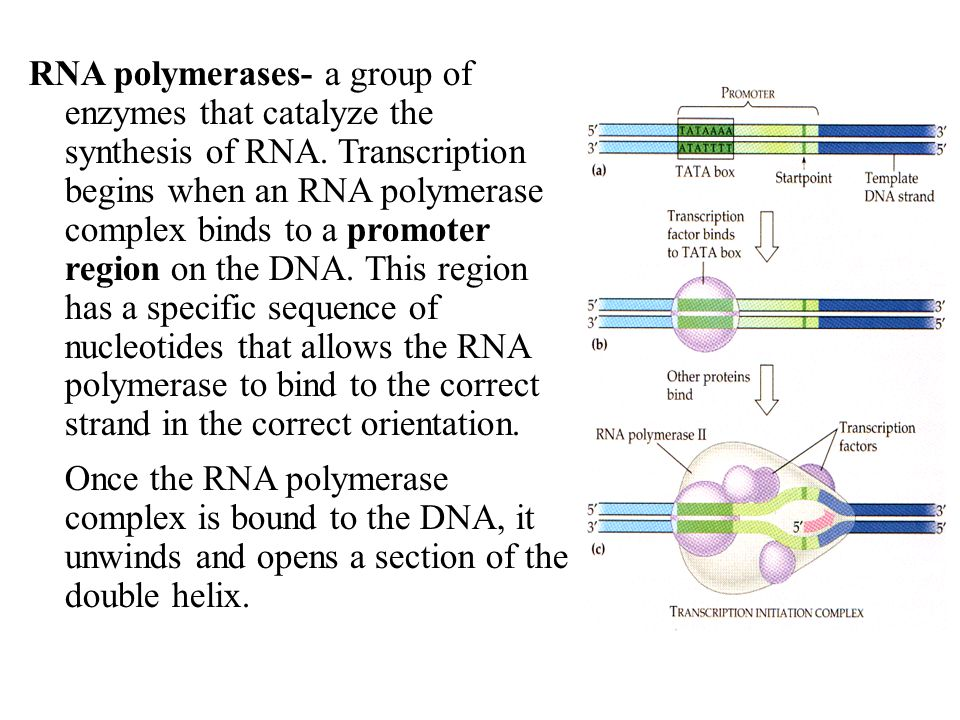 RNA polymerases- a group of enzymes that catalyze the synthesis of RNA