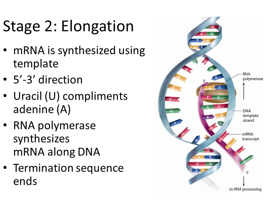 Stage 2: Elongation mRNA is synthesized using template 5'-3' direction