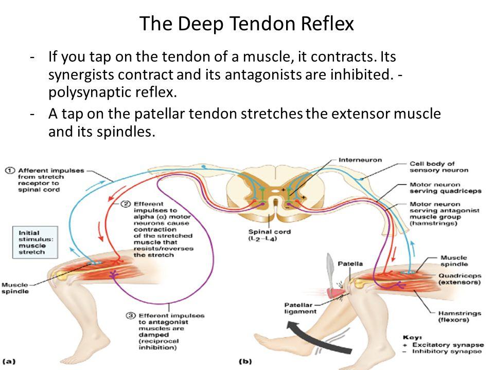 Reflexes ppt video online download the deep tendon reflex ccuart Gallery