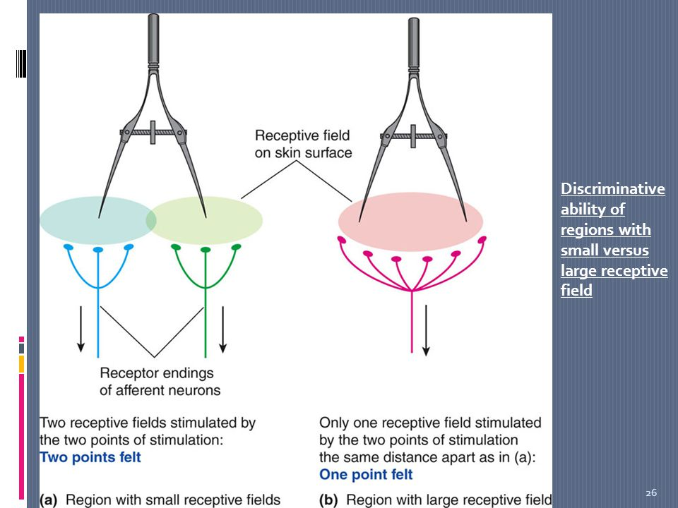 sensory system receptors  u0026 sensory pathways