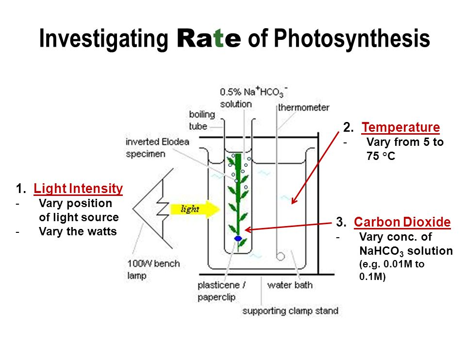 to investigate the effect of light intensity on the rate of photosynthesis Rate of photosynthesis is determined by the factor which is in short supply   expt: to investigate the effect of light intensity on the rate of photosynthesis  graph.