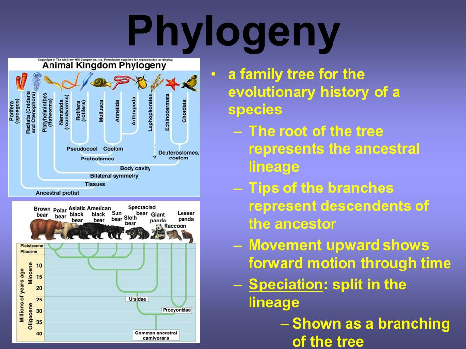Phylogeny a family tree for the evolutionary history of a species