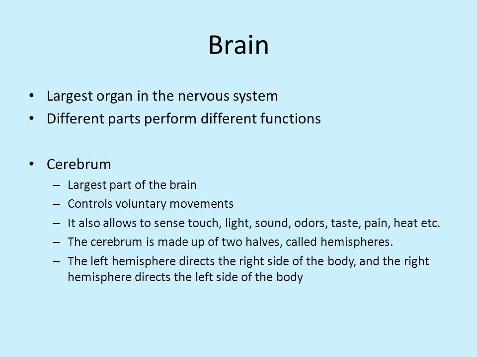 Brain Largest organ in the nervous system
