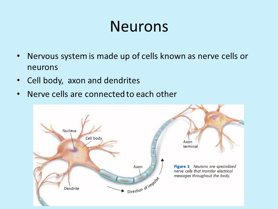Neurons Nervous system is made up of cells known as nerve cells or neurons. Cell body, axon and dendrites.