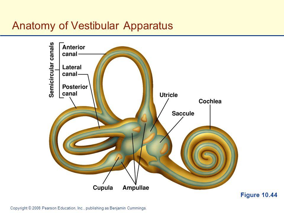 Fantastisch Vestibularsystem Anatomie Und Physiologie Zeitgenössisch ...