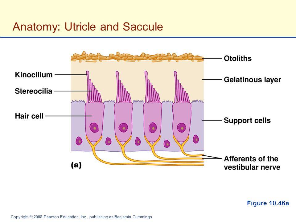 The Nervous System: Sensory Systems - ppt video online ...