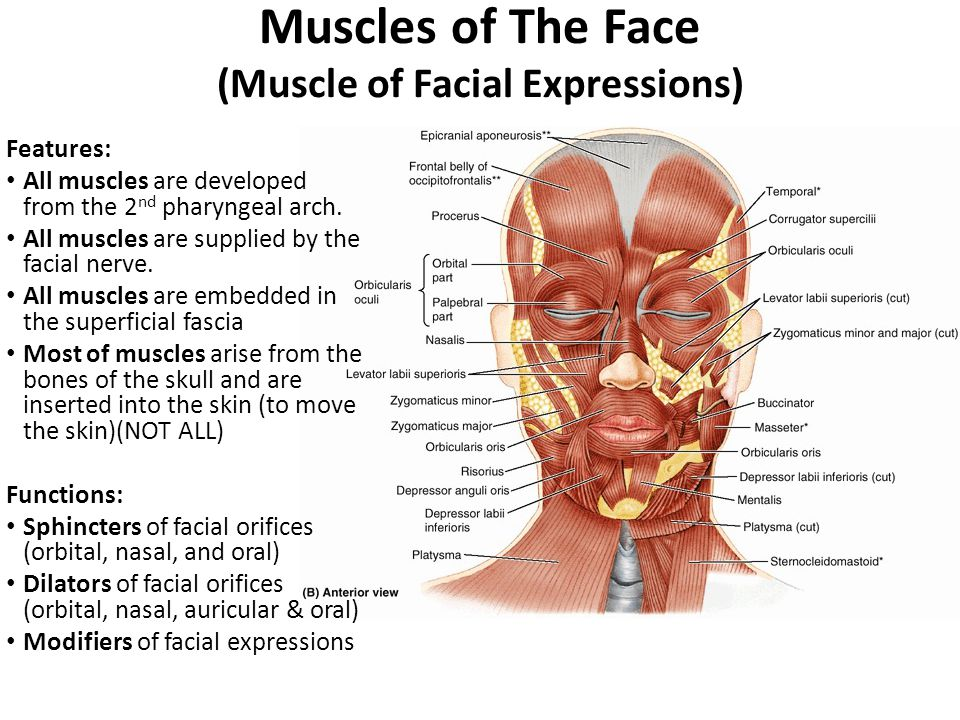 superficial facial muscles