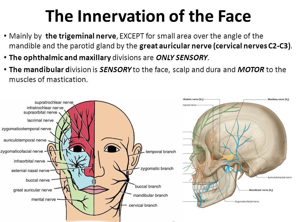 A review of facial nerve anatomy essay Homework Service ...