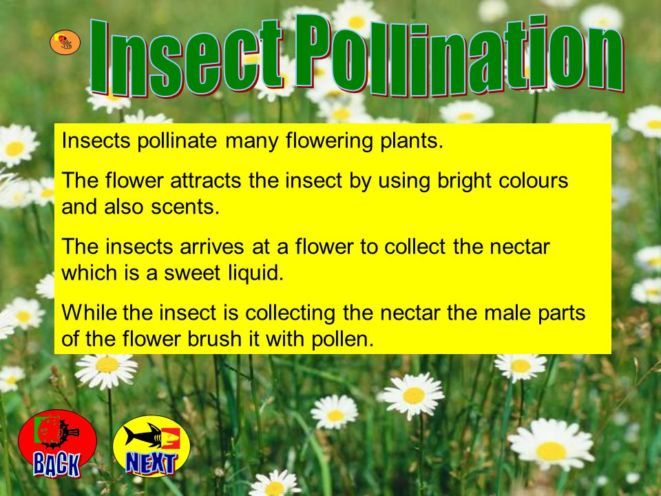 Insect Pollination BACK NEXT Insects pollinate many flowering plants.