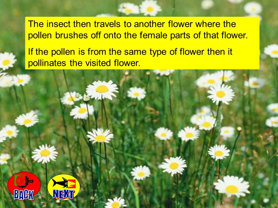 The insect then travels to another flower where the pollen brushes off onto the female parts of that flower.