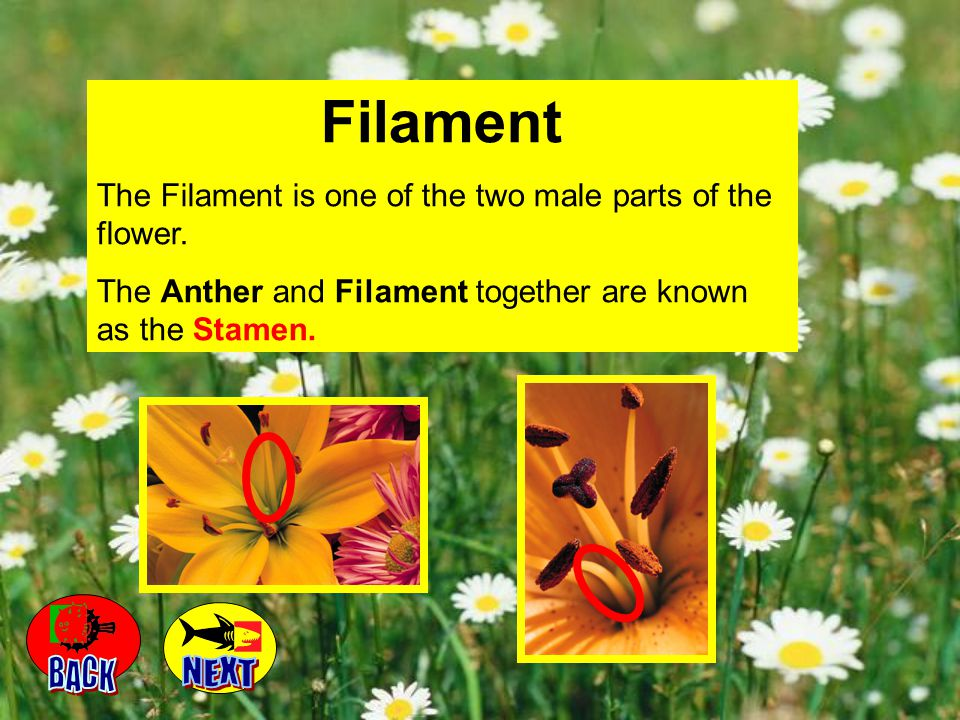 Filament The Filament is one of the two male parts of the flower. The Anther and Filament together are known as the Stamen.