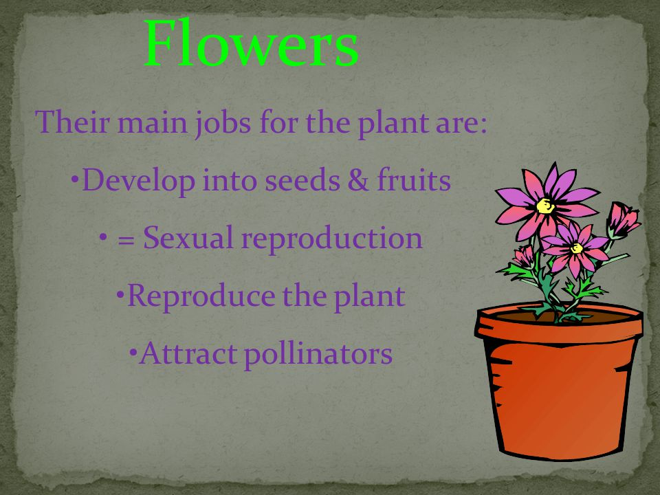 Flowers Their main jobs for the plant are: Develop into seeds & fruits