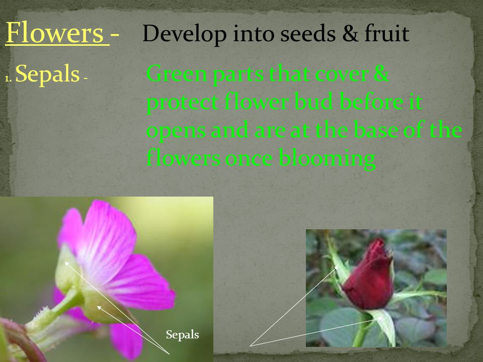 Flowers - Develop into seeds & fruit