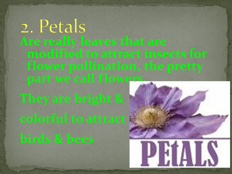 2. Petals Are really leaves that are modified to attract insects for flower pollination, the pretty part we call flowers.
