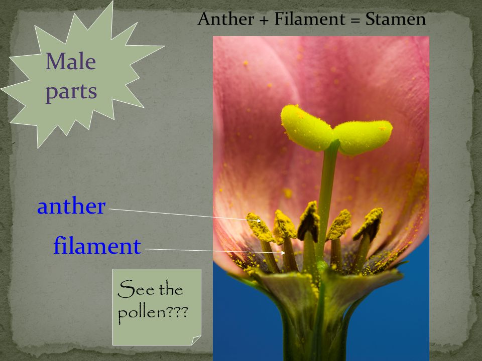 Male parts anther filament Anther + Filament = Stamen See the